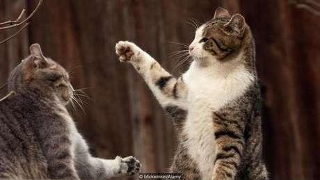Gatos domésticos têm uma tendência a brigar