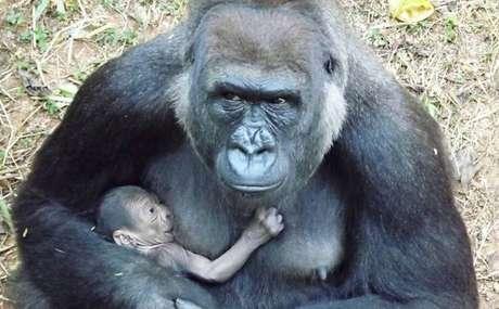 Mamãe gorila e seu bebê
