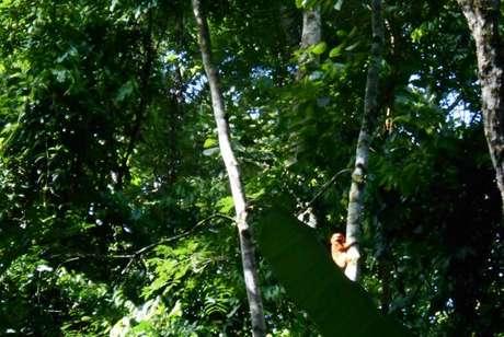 Mico-leão-dourado avistado por pesquisadores na Reserva Biológica Fiocruz Mata Atlântica, na cidade do Rio de Janeiro