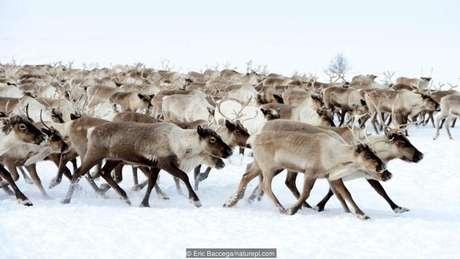Renas migrando na região da Sibéria