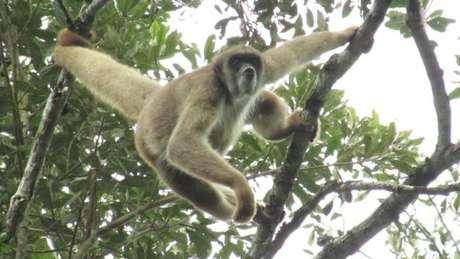 O muriqui-do-norte é uma das espécies de primatas mais ameaçadas do mundo. O vírus chegou à reserva ambiental em Caratinga, MG, onde ainda há populações da espécie O muriqui-do-norte é uma das espécies de primatas mais ameaçadas do mundo. O vírus chegou à reserva ambiental em Caratinga, MG, onde ainda há populações da espécie