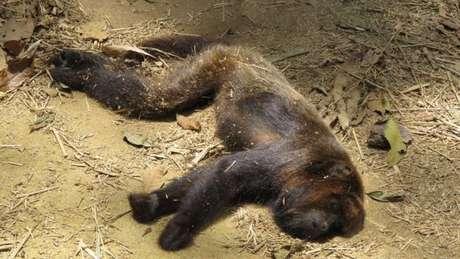 Bugio ruivo encontrado morto: a espécie é uma das mais suscetíveis ao vírus