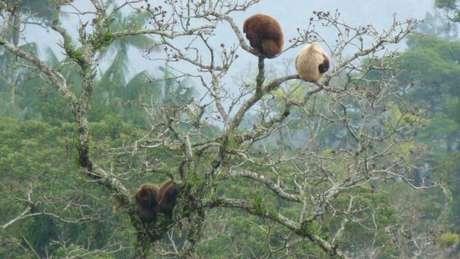 No Parque Nacional de Itatiaia, o bugio esbranquiçado é uma fêmea com falta de pigmentação causada por uma anomalia genética. Segundo o biólogo Izar Aximoff, a causa provável é a baixa variabilidade genética dos bugios no parque, dizimados por um surto de febre amarela em 1939