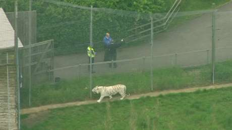 Um dos tigres em uma das jaulas do Hamerton Zoo Park