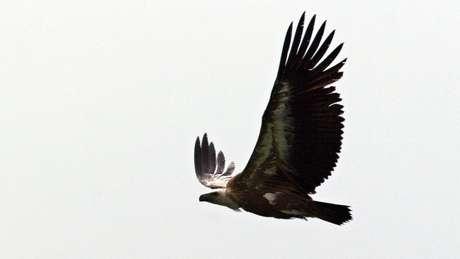 Abutre-fouveiro durante voo