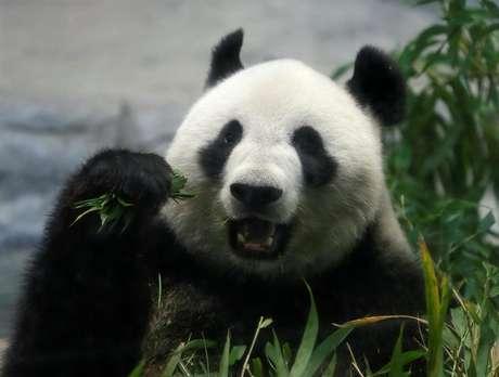Panda gigante Shin Shin dá à luz aos 11 anos de idade