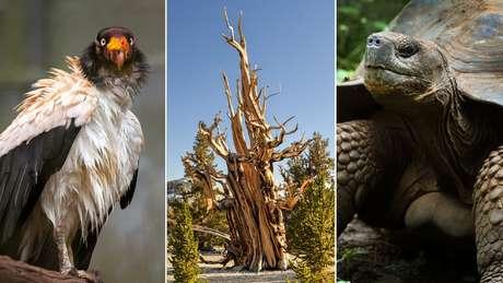 Abutre-rei, pinheiro bristlecone e tartaruga gigante: outras espécies longevas
