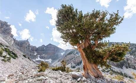 O pinheiro de bristlecone, da Grande Bacia, foi descoberto no oeste dos Estados Unidos