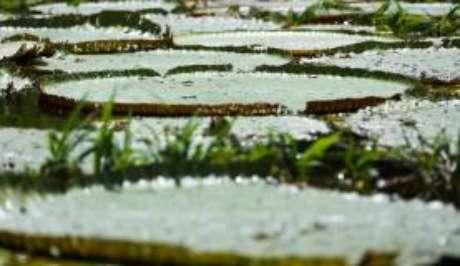A limpeza do lago deixa ainda mais evidente a beleza das vitórias-régias