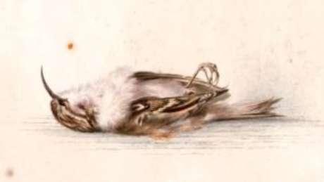Pintura em aquarela de uma trepadeira-do-bosque feita no início do século 20