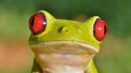 A rã-de-olhos-vermelhos faz parte do grupo de animais que aproveitaram ao máximo o ressurgimento das florestas após o asteroide