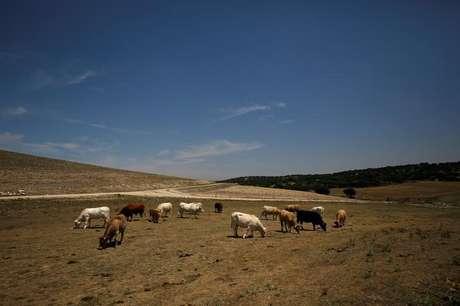 Vacas são vistas em pastagem seca em San Garcia de Ingelmos, Espanha 10/7/2017 REUTERS/Juan Medina