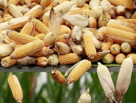 Carregamento de milho em uma fazenda em Gaocheng, na China 30/09/2015 REUTERS/Kim Kyung-Hoon