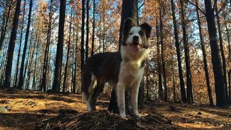 Os cães da raça border collie chegam a percorrer cerca de 40 quilômetros dentro da floresta