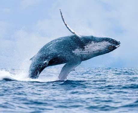 Baleia jubarte pode atingir o peso de 30.000 kg