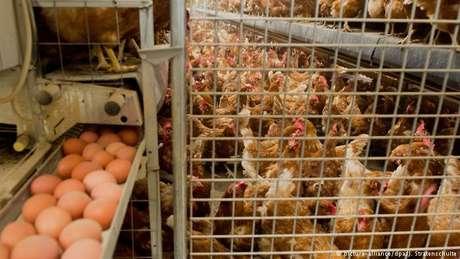 Pesticida fipronil foi utilizado em produções avícolas na Holanda para combater ácaros em galinhas