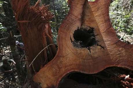 Árvore derrubada ilegalmente na Floresta Nacional do Jamanxim, no Pará, em 21/6/2013