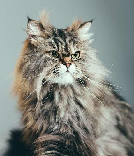Retrato de um gato persa