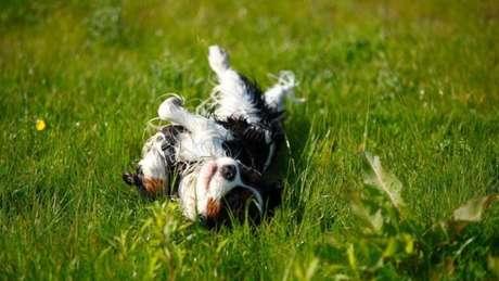 Cachorros adoram rolar, sobretudo sobre fezes