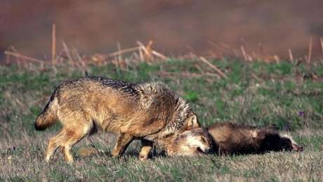 Um lobo cinza (Canis lupus) rolando sobre um texugo morto