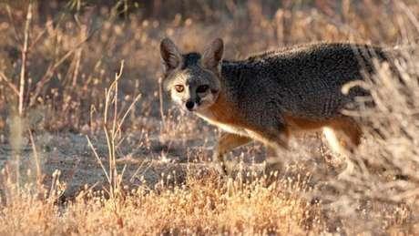 Uma raposa-cinzenta (Urocyon cinereoargenteus)
