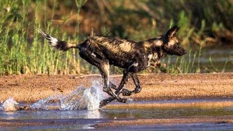 Um cachorro africano selvagem (Lycaon pictus)