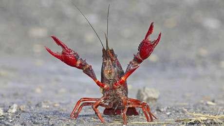 Acredita-se que lagostins usados para adornar aquários foram soltos no parque berlinense