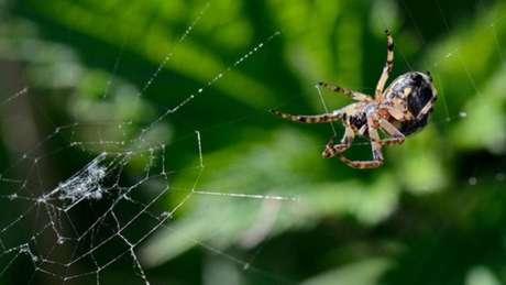 Uma aranha-peluda (Larioniodes cornutus) em sua teia