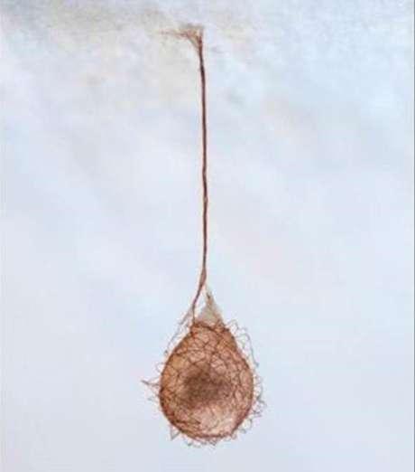 O saco de ovos de uma aranha pirata (Ero sp.)