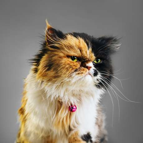 Uma curiosa lenda urbana diz que se os fios do bigode de um gato forem cortados, o animal ficará perdido e não encontrará o caminho de volta para casa.