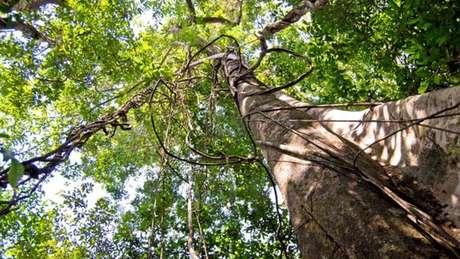 Árvore na floresta amazônica