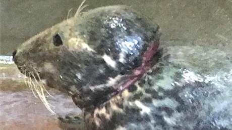 A foca depois da retirada no anel de plástico