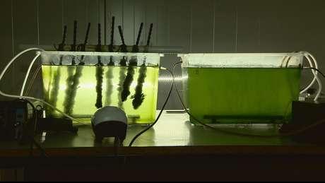 Algas em tanques