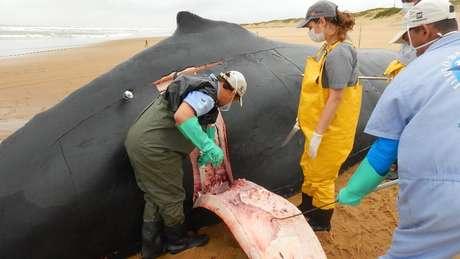 Especialistas dizem que número de baleias mortas devem subir ainda mais até o fim do ano | Foto: Instituto Baleia Jubarte