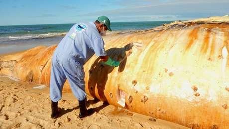 Veterinário disse que banhistas não devem tentar salvar baleias por conta própria, mas apenas mantê-las úmidas | Foto: Instituto Baleia Jubarte