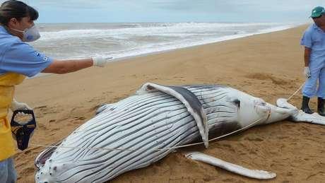 Carne de baleias encalhadas é imprópria para consumo | Foto: Instituto Baleia Jubarte