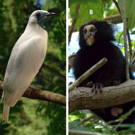 Araponga e macaco da espécie Callithrix