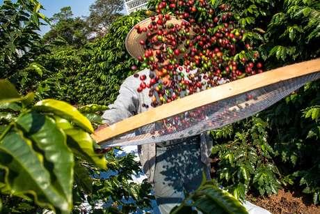 Homem colhe café no Instituto Biológico, a mais antiga plantação de café urbano do Brasil, localizada na Vila Mariana, bairro da região sul da cidade de São Paulo