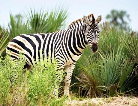 A zebra é branca de listras pretas, e não o contrário