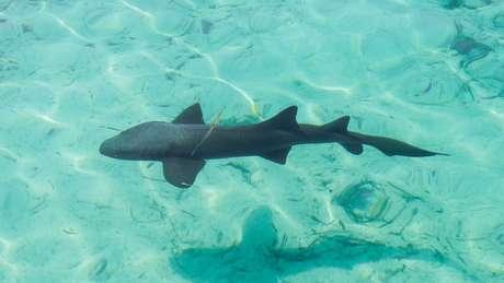 Mito de que tubarões não têm câncer despertou interesse pela cartilagem do animal