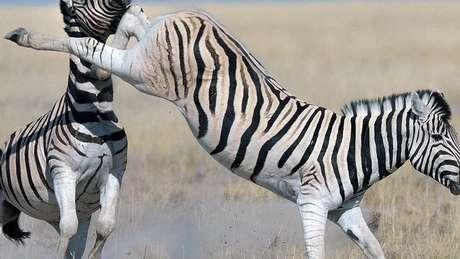 Zebra dando coice
