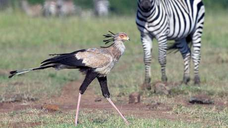 Pássaro-secretário
