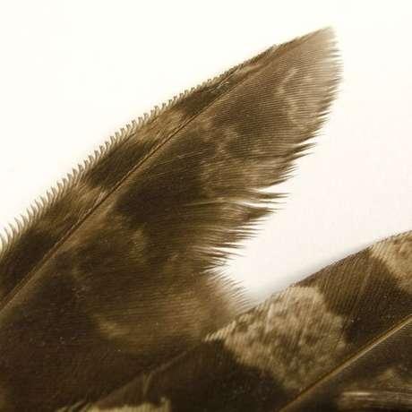 Penas dentadas da coruja permitem voo silencioso