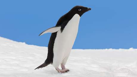 Superfície lisa do corpo do pinguim-de-adélia também inspirou o engenheiro