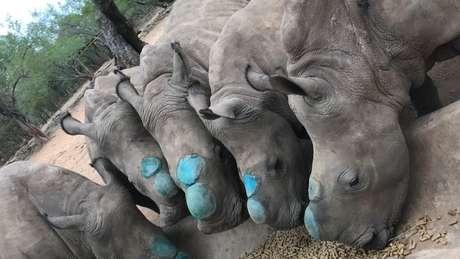 Os cinco filhotes tiveram seus chifres removidos (o azul se deve ao spray antisséptico) para evitar caçadores ilegais | Foto: Divulgação/Rhino Revolution