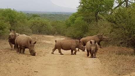 Animais formaram um grupo e foram devolvidos à natureza em reserva na África do Sul | Divulgação/Rhino Revolution
