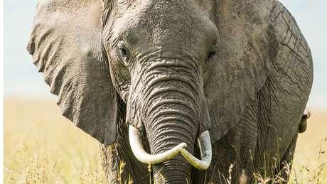 Na foto, as longas presas de um elefante africano, que não estavam presentes em Jumbo porque quebraram ou foram desgastadas devido ao estresse