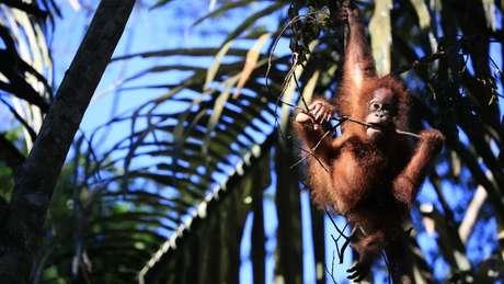 Ex-caçadores estão sendo contratados para ajudar a proteger a fauna na Indonésia | Foto: Victoria Gill