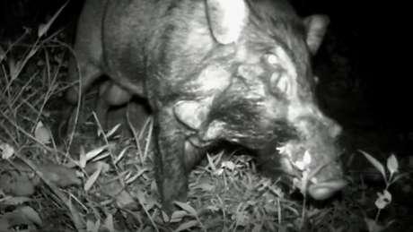 Peludos e com verruga na face, os suínos foram filmados em Java, na Indonésia | Foto: Chester Zoo