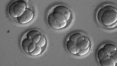 Embriões humanos foram modificados pela primeira vez com uma nova técnica de edição genética, diferente da já conhecida CRISPR (usada nos da imagem acima) | Foto: OHSU